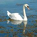 N2 swan3.jpg