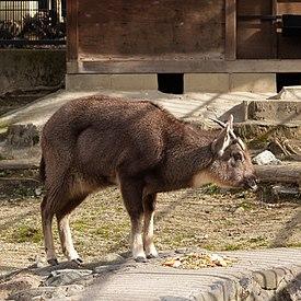 Про животных  275px-Naemorhedus_goral
