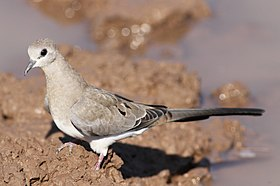 Namaqua dove, Oena capensis, at Mapungubwe National Park, Limpopo, South Africa (18085767542).jpg