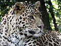 Nanital zoo leopard.jpg