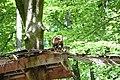 Nasua nasua in Zoo Osnabrück.jpg