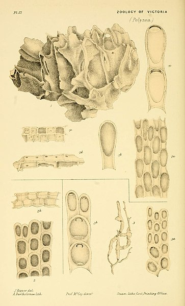 File:Natural history of Victoria (Pl. 57) (5998819190).jpg