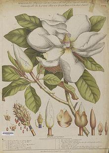 Magnolia Grandiflora Wikipedia