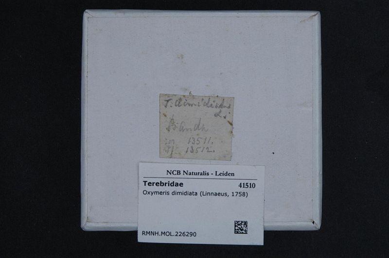 File:Naturalis Biodiversity Center - RMNH.MOL.226290 1 - Oxymeris dimidiata (Linnaeus, 1758) - Terebridae - Mollusc shell.jpeg