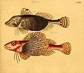 Naturgeschichte in Bildern mit erläuterndem Text (Taf. LXXI) (6058669039).jpg