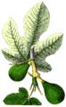 NdP Ficus carica.png