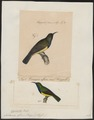 Nectarinia affinis - 1700-1880 - Print - Iconographia Zoologica - Special Collections University of Amsterdam - UBA01 IZ19000085.tif