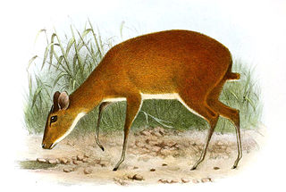 Batess pygmy antelope species of mammal