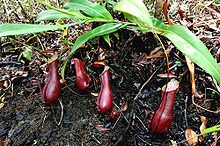 Nepenthes bauensis giant4.jpg