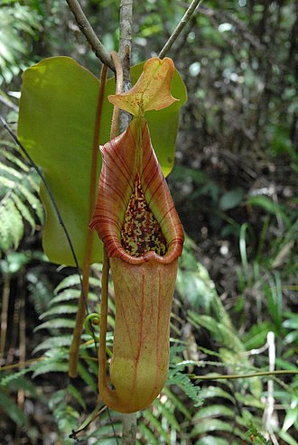 Nepenthes truncata - Image: Nepenthes truncata pitcher