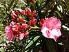 Nerium oleander - πικροδάφνη 02.jpg