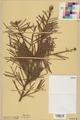 Neuchâtel Herbarium - Abies grandis - NEU000003669.tif