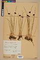 Neuchâtel Herbarium - Juncus jacquinii - NEU000044963.jpg