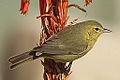 New Yard Bird - Female Orange-crowned Warbler (vermivora celata) (8348777658).jpg
