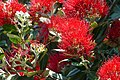 New Zealand Christmas Tree (Metrosideros excelsa) red flowers ... (46368966612).jpg