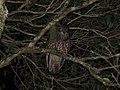 Ninox boobook (35346870035).jpg