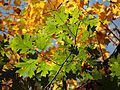 Northern Red Oak Leaves - Flickr - treegrow.jpg