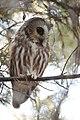 Northern Saw-whet Owl (31782265242).jpg