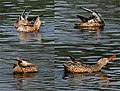 Northern Shoveler (Female)- Preening- I 653.jpg