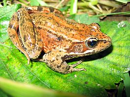 Northern red legged frog rana aurora amphibia.jpg