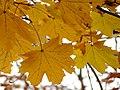 Norway Maple (31164267272).jpg