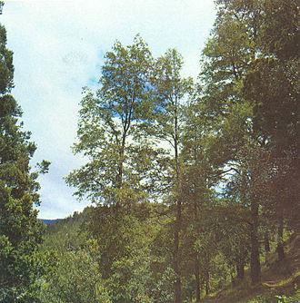 Lophozonia alpina - Adult tree