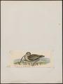 Numenius cyanopus - 1820-1860 - Print - Iconographia Zoologica - Special Collections University of Amsterdam - UBA01 IZ17400061.tif