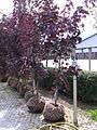 Nursery stocks of Acer platanoides 'Royal Red'.JPG
