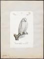 Nyctea nivea - 1842-1848 - Print - Iconographia Zoologica - Special Collections University of Amsterdam - UBA01 IZ18400011.tif