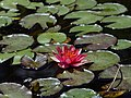 Nymphaea 'Andreana' Flower.JPG