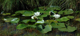 Nymphaea alba group.png
