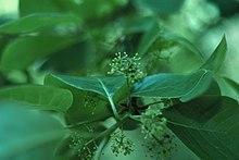 Nyssa sylvatica flowers.jpg