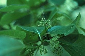 Tupelo - Nyssa sylvatica foliage and flowers