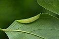 Obolodiplosis robiniae on Robinia pseudoacacia (31773598032).jpg