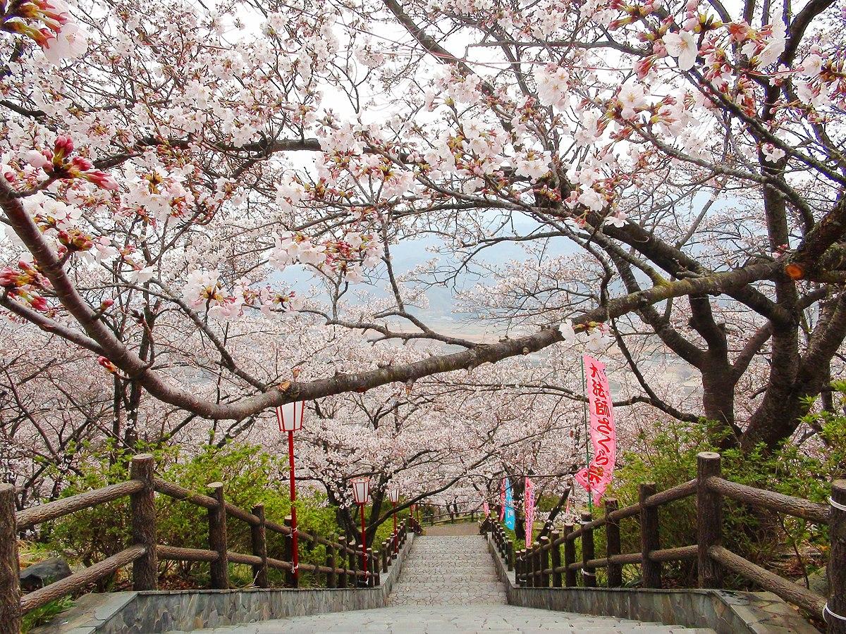 Oboshi-park cherry blossoms.JPG