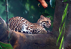 meaning of ocelot