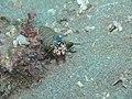 Odontodactylus scyllarus5.jpg