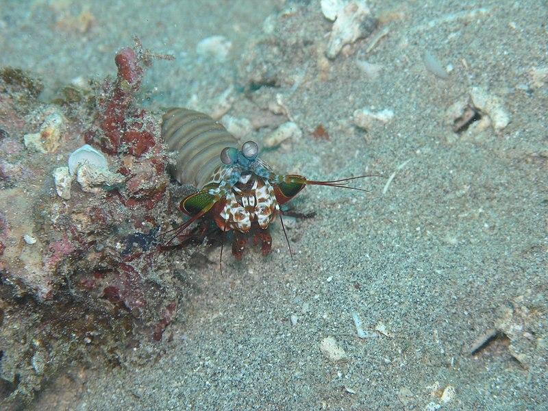 Odontodactylus scyllarus5
