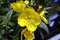 Oenothera fruticosa glauca Fireworks 0zz.jpg
