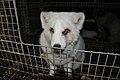 Oikeutta eläimille - Fur farming in Finland 03.jpg
