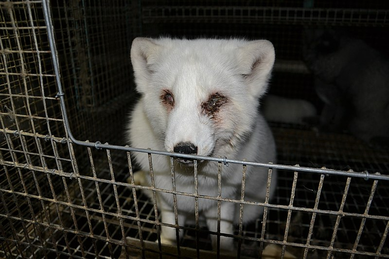 File:Oikeutta eläimille - Fur farming in Finland 03.jpg