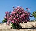 Oleander stablo.jpg