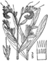 Onosmodium virginianum BB-1913.png