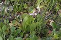 Ophrys picta 07.JPG
