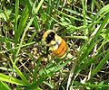 Orange-belted Bumblebee.jpg