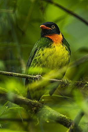 Orange-breasted fruiteater - Image: Orange breasted Fruiteater Mindo Ecuador S4E5422