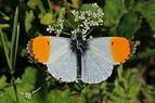 Orange tip (Anthocharis cardamines) male 2.jpg