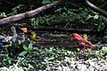 Orchard Oriole (male), Summer Tanager (male), Blue-winged Warbler & Orchard Oriole (female) (bathing) Boy Scout Woods High Island TX 2018-04-11 12-44-52 (39993410060).jpg