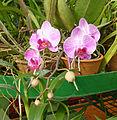 Orchidées-Jardin botanique de Peradeniya-Sri Lanka (4).jpg