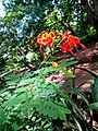 Orgueil de chine au jardin botanique et zoologique de l'Université d'Abomey-Calavi.jpg